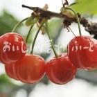さくらんぼ・桜桃(圃場単体)