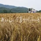 伊那市東春近小麦(ハナマンテン)の麦秋
