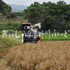 伊那市東春近の小麦(ハナマンテン)の麦秋