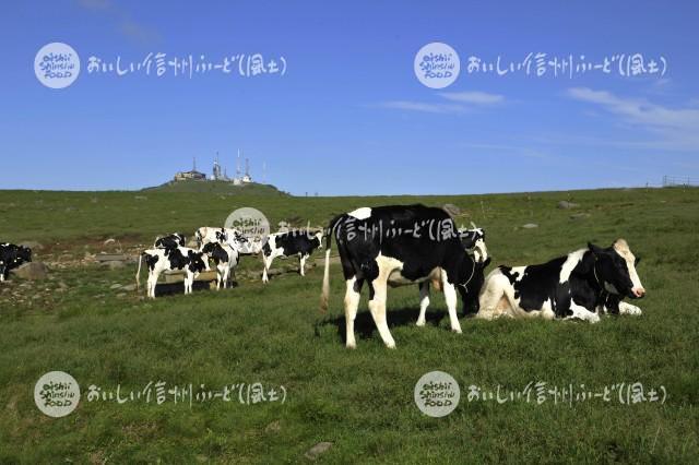 美ヶ原牧場の放牧風景