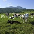 蓼科第二牧場の放牧風景