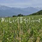 池田町の醸造用ぶどう畑と北アルプス