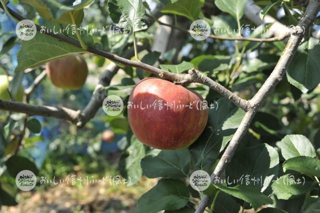 りんご【シナノレッド】(単体)
