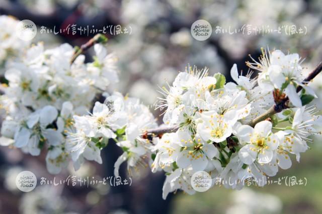 千曲川河川敷のプルーンの花