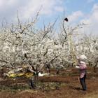 千曲川河川敷のプルーンの花(花付け作業)