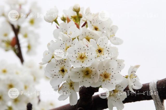 なしの花(南水)