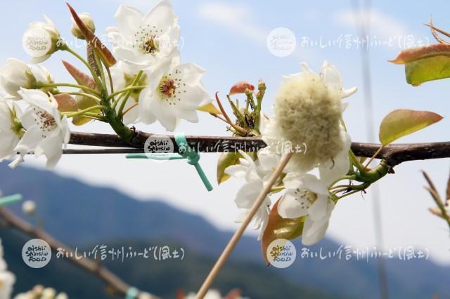 なしの花(幸水の花付け作業)