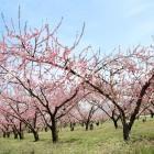 千曲川河川敷のももの花