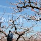 千曲川河川敷のももの花(川中島白桃の花付け作業)
