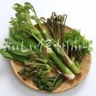 山菜6種(スタジオ盛り合わせ・ワラビ、ギョウジャニンニク、タラノメ、ウド、コゴミ、コシアブラ)