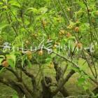 天龍村のうぐす梅園の梅