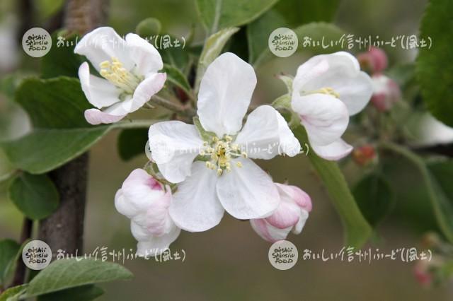 りんごの花(ふじ)