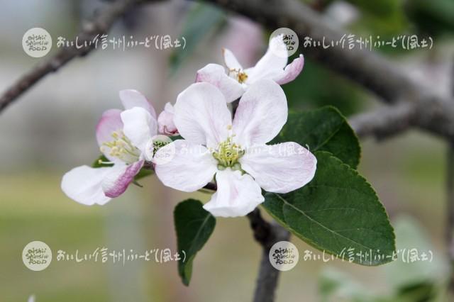 りんごの花(シナノゴールド)