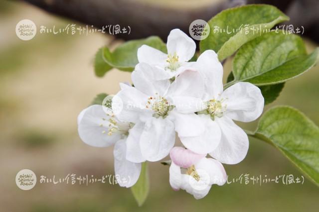 りんごの花(シナノスイート)