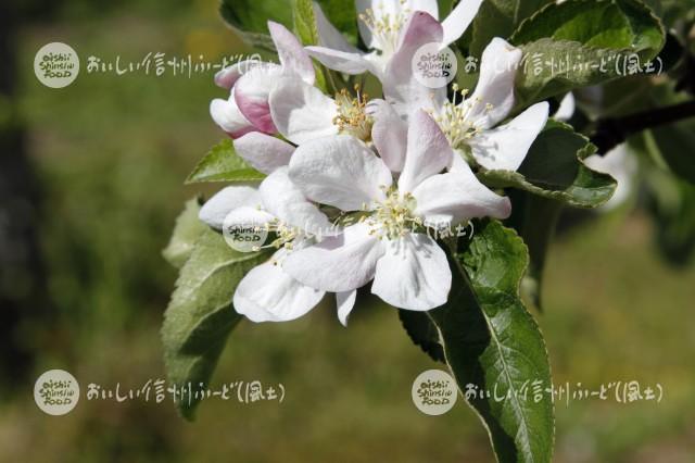 りんごの花(秋映)