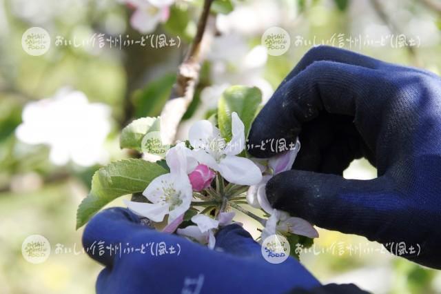 りんごの花(秋映・摘花作業)