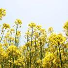 菜の花(飯山市・菜の花公園)