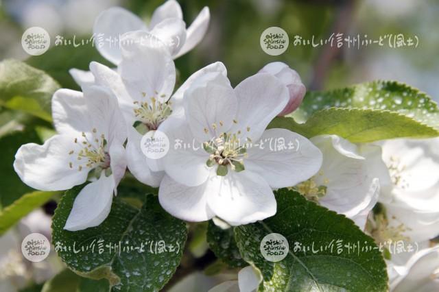 りんごの花(さんさ)