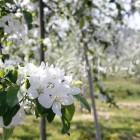 りんごの花(豊野町のりんご畑)