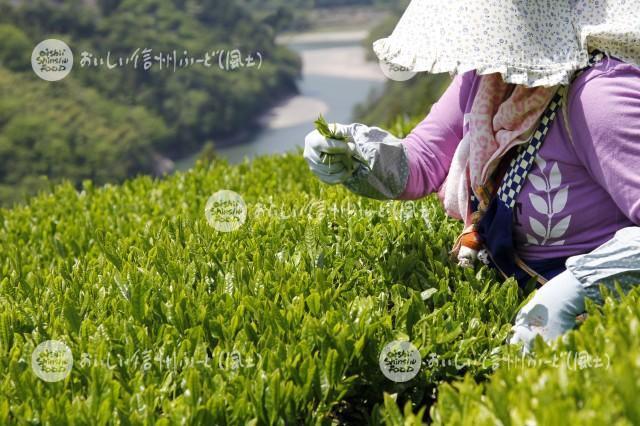 天龍村の茶畑(茶摘み作業)