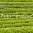 天龍村の茶畑