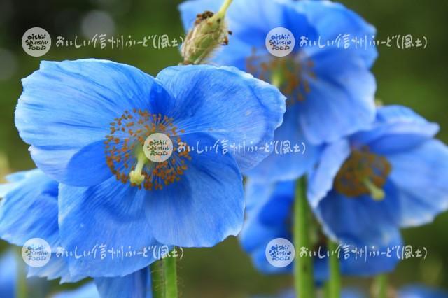 大鹿村の青いケシ畑