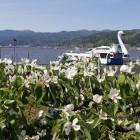 マルメロの花と諏訪湖