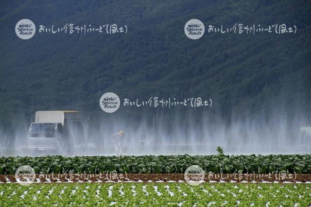 朝日村から洗馬にかけてのレタス畑(灌水風景)