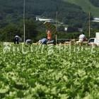 上田市菅平のレタス畑(収穫風景)