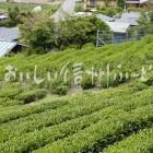 南信濃の茶畑(圃場)