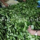 南信濃の茶畑(選別作業)