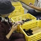 信州黄金シャモの雛(塩尻市・畜産試験場)