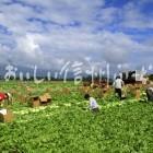 川上村のレタス畑(収穫風景)