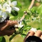 りんごの花(摘花作業)