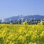 菜の花(佐久市・瀬戸原台地)