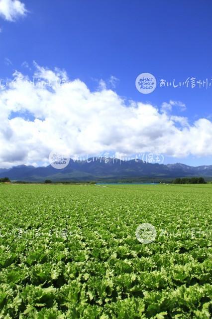 川上村のレタス畑と八ヶ岳