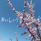 千曲市森のあんずの花