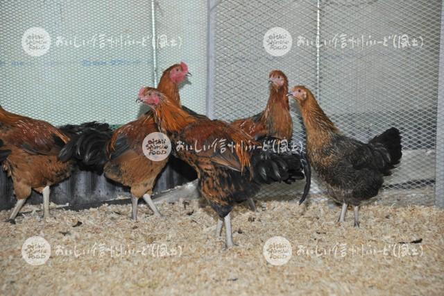 信州黄金シャモ(鶏舎複数)