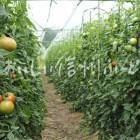 生食トマト(圃場)