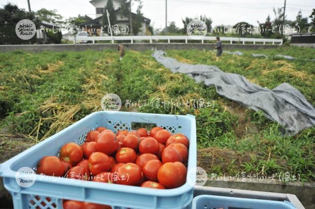 加工用トマト【リコボール】(収穫)
