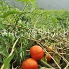 加工用トマト【リコボール】(複数)