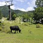 高山村・山田牧場の放牧風景