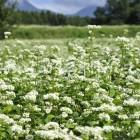 茅野市のそばの花