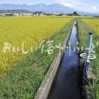 佐久市・五郎兵衛米の田園風景(稲刈り前)と浅間山