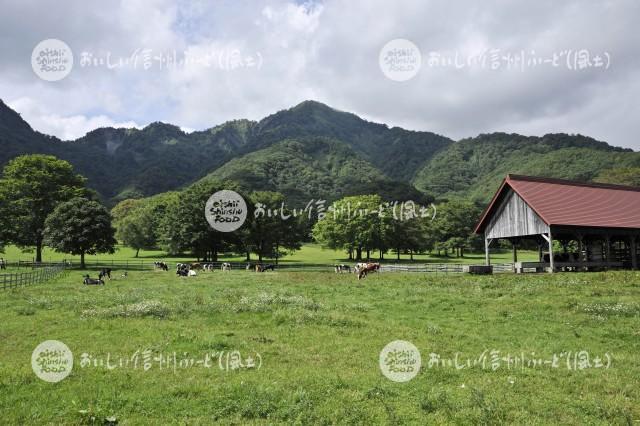 戸隠牧場の放牧風景