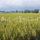 安曇野市・拾ヶ堰公園付近の田園風景(稲刈り前)
