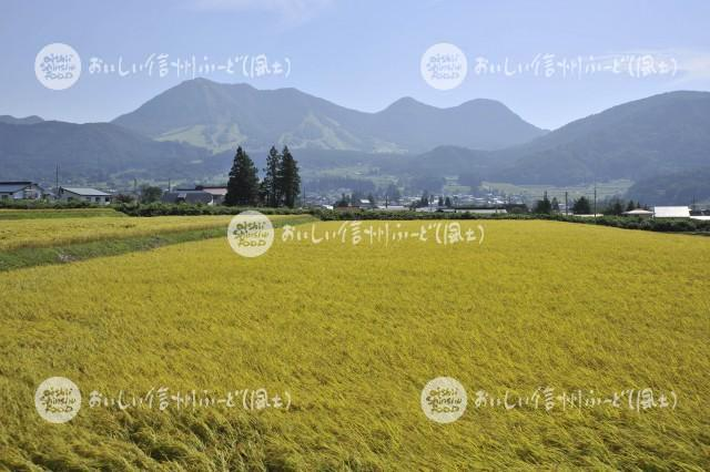 木島平大塚沖の田園風景(稲刈り前)