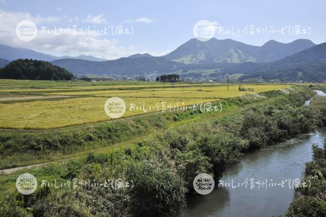 木島平村大塚沖の田園風景(稲刈り前)