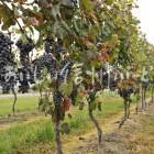 上田市陣場の醸造用ぶどう畑