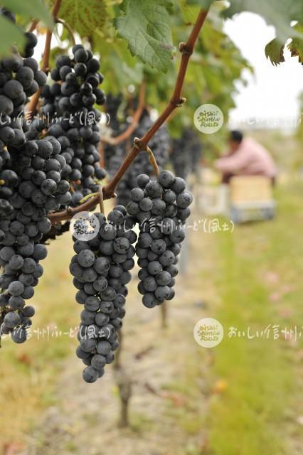 上田市陣場の醸造用ぶどう畑(収穫風景)